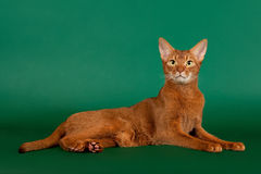 Ruddy abyssinian cat. On black green background stock photography