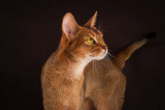 Ruddy abyssinian cat on black brown background Stock Images