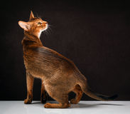 Ruddy abyssinian cat on black brown background.  royalty free stock photo