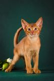 Ruddy abyssinian cat on dark green background.  Stock Photography