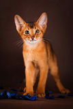 Ruddy abyssinian cat on dark green background.  Royalty Free Stock Photos