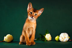 Ruddy abyssinian cat on dark green background.  Stock Photos