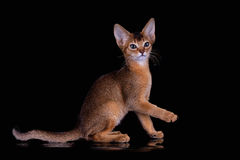 Ruddy abyssinian kitten Royalty Free Stock Image