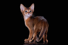 Ruddy abyssinian kitten Stock Photo