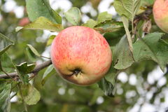Ruddy apple. Juicy red apples on a branch of apple Royalty Free Stock Photography