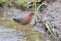 Ruddy-breasted Crake Stock Photos