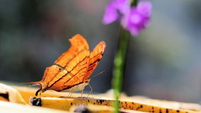 Ruddy Daggerwing butterfly Stock Photography