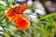 Ruddy Daggerwing butterfly (upper side) Stock Photography