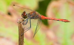 Ruddy Darter royalty free stock photo