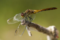 Ruddy Darter on a branch Royalty Free Stock Photography