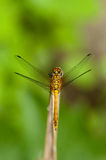 Ruddy Darter Dragonfly Royalty Free Stock Image