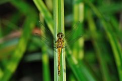 Ruddy Darter Dragonfly in green grass Royalty Free Stock Photo