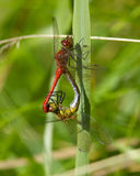 Ruddy Darter dragonfly mating. Stock Photography