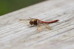 Ruddy Darter Dragonfly si è appollaiato su un banco di legno Fotografia Stock Libera da Diritti