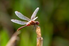 Ruddy Darter Dragonfly si è appollaiato sul gambo, Regno Unito Fotografie Stock Libere da Diritti