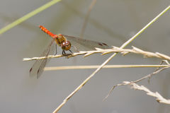 Ruddy Darter Dragonfly  (Sympetrum sanguineum) Royalty Free Stock Photography