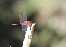 Ruddy Darter Dragonfly Sympetrum-sanguineum royalty-vrije stock afbeelding