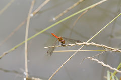 Ruddy Darter Dragonfly  (Sympetrum sanguineum) Stock Photography