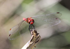 Ruddy Darter Dragonfly Sympetrum sanguineum Royalty Free Stock Photos