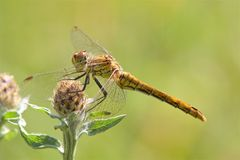 A Ruddy Darter dragonfly in the morning sunshine. royalty free stock photo