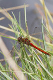 Ruddy Darter Dragonfly  (Sympetrum sanguineum) Royalty Free Stock Photos