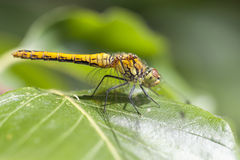 Ruddy Darter femminile Fotografia Stock