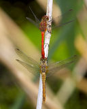 Ruddy Darter male and female prior to mating. Royalty Free Stock Photography