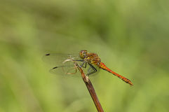 Ruddy Darter Royalty Free Stock Images