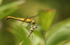 A Ruddy Darter Sympetrum sanguineum perched on a twig. Royalty Free Stock Photos