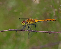 The ruddy darter, Sympetrum sanguineum. On a twig royalty free stock image