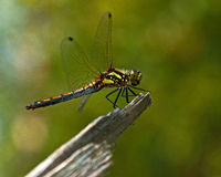 The ruddy darter, Sympetrum sanguineum Stock Photo