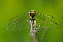 The ruddy darter, Sympetrum sanguineum Stock Photos
