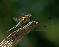 The ruddy darter, Sympetrum sanguineum Royalty Free Stock Images