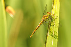Ruddy darter, young female animal. On a reed royalty free stock photography