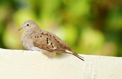 ruddy dove земное стоковое изображение