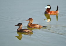 Ruddy Duck Stock Images