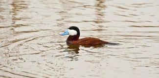 Ruddy Duck Fotografía de archivo libre de regalías