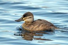 Ruddy Duck Images libres de droits