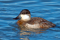 Ruddy Duck Royalty-vrije Stock Fotografie