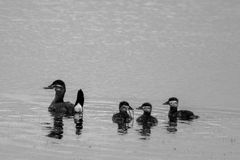 Ruddy Duck Family. A family of Ruddy Ducks floats amongst the weeds Stock Photography