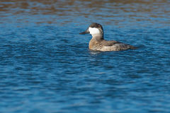 Ruddy Duck Stock Photography