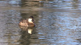 Ruddy Duck on Lake stock video footage