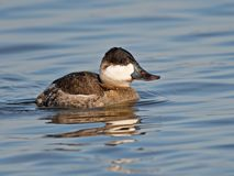 Ruddy Duck Male fotos de archivo