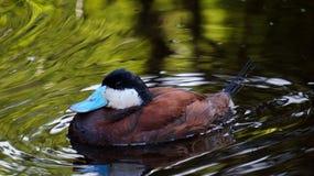 Ruddy Duck - norteamericano foto de archivo libre de regalías