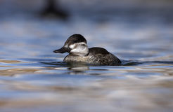 Ruddy duck, Oxyura jamaicensis Royalty Free Stock Image