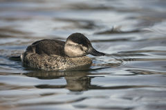 Ruddy duck, Oxyura jamaicensis Stock Images