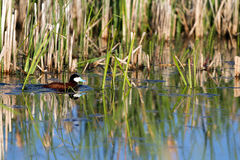 Ruddy Duck, Oxyura jamaicensis Stock Photo