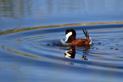 Ruddy Duck, Oxyura jamaicensis. Male Ruddy Duck plays in the water at Alamosa National Wildlife Refuge in Colorado Royalty Free Stock Photo
