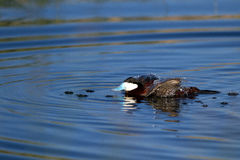 Ruddy Duck, Oxyura jamaicensis. Male Ruddy Duck plays in the water at Alamosa National Wildlife Refuge in Colorado Stock Photography