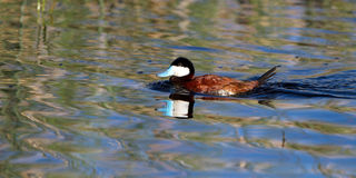 Ruddy Duck, Oxyura jamaicensis Royalty Free Stock Photo